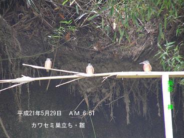 平成21年5月29日カワセミ・巣立ち雛 止まり木上