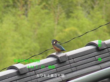 平成21年5月29日カワセミ・巣立ち雛 樺家屋根上