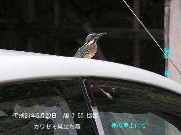平成21年5月29日カワセミ・巣立ち雛 樺の車上にて