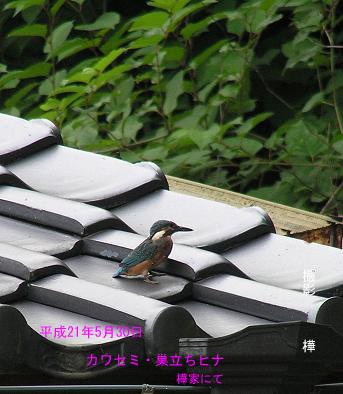 平成21年5月30日カワセミ雛・屋根の上