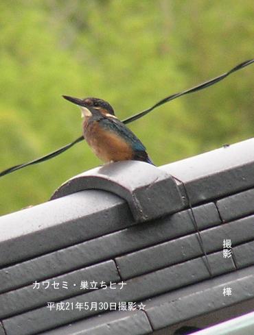平成21年5月30日カワセミ・巣立ち雛2