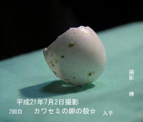 平成21年7月2日入手・カワセミの卵の殻