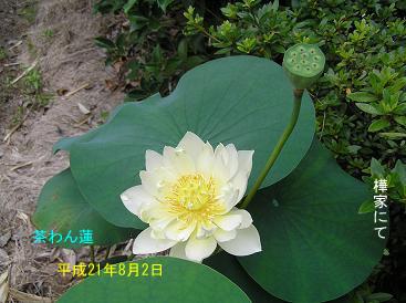平成21年8月2日茶わん蓮.