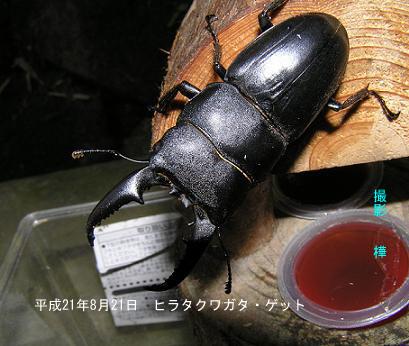 平成21年8月21日ヒラタクワガタ・ゲット