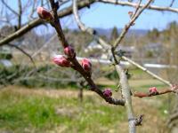 春分の日のつぼみ
