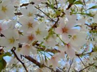 全体的に青っぽい桜は満開!