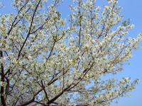 グランドの桜