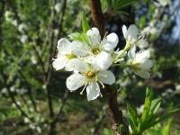梅でもなく、桃でもなく、桜でもない、この花は?