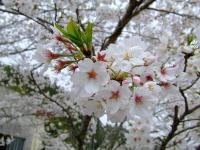 事務所の桜です