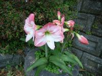 大きな花が