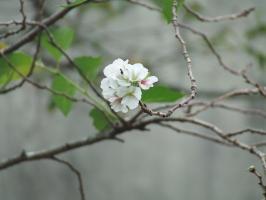 季節はずれの桜の花