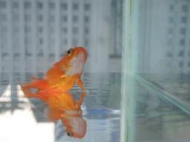 水面に立つ金魚