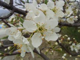 青っぽい桜の花