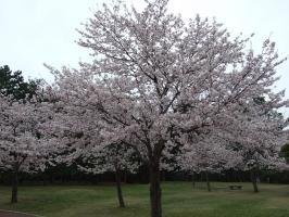 ホームグランドの桜も満開でっ!