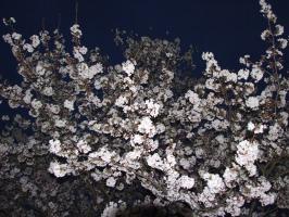 いつの間にか、辺りは暗く んっ?夜桜!