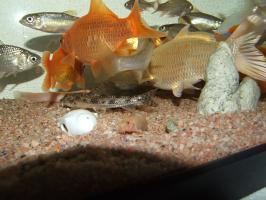 金色のヒレナガ鯉