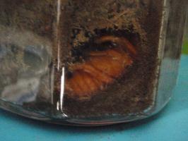 カブトムシのサナギ