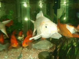 白金色の鯉にオレンジ色の模様がっ!