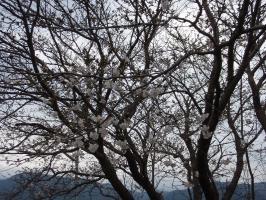 アパートの前の桜