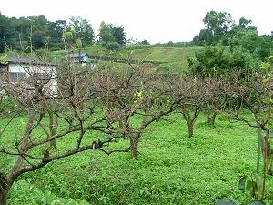 台風で寂しくなった柿木