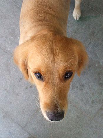お店の看板犬 ゴールデン