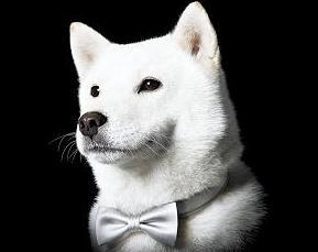 予想外のSOFTBANK犬_カイ君