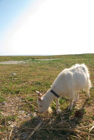 最南端のヤギ
