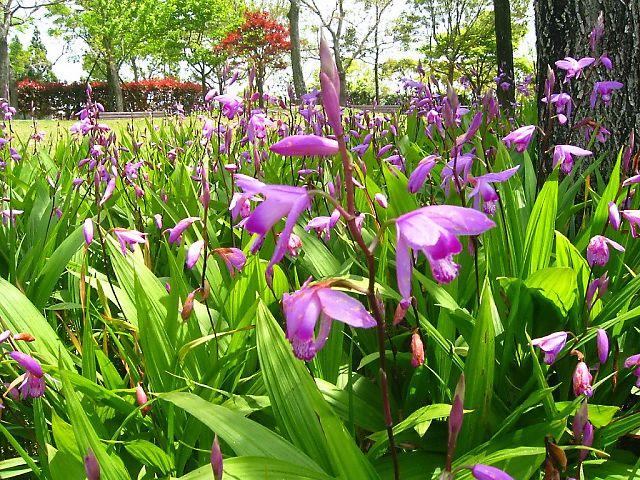 紫蘭 (しらん)