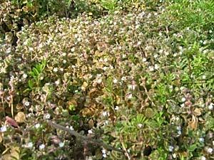 フラサバ草
