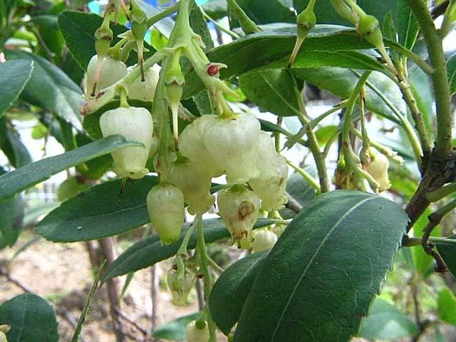 苺の木(いちごのき)