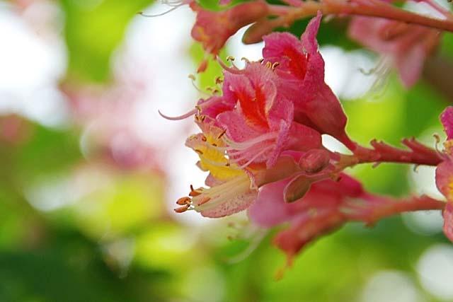 紅花栃の木