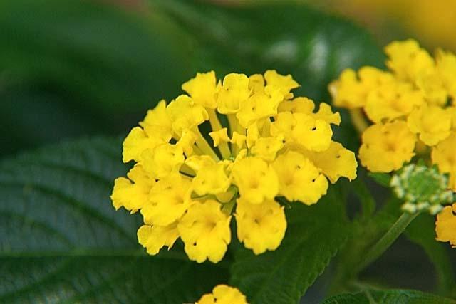 黄花ランタナ