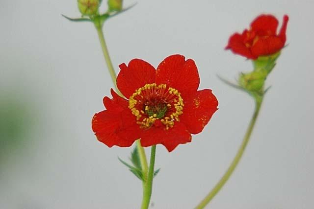 紅花大根草