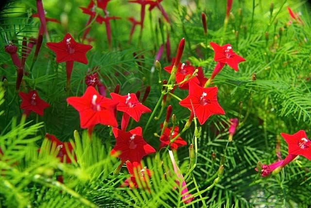縷紅草(るこうそう)