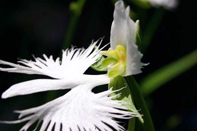 鷺草(さぎそう)