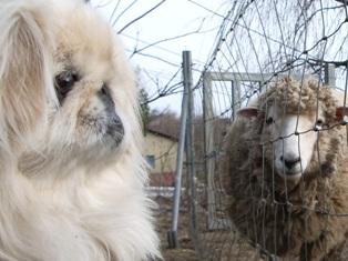 華と羊対面