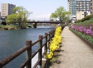 レンギョウの咲く遊歩道