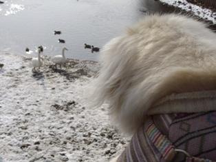 白鳥を見る