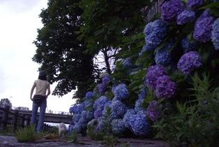 華こまち紫陽花