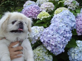 紫陽花と華4