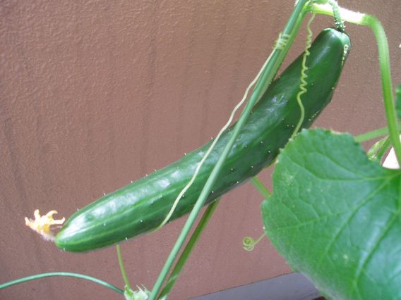 cucumber0.jpg