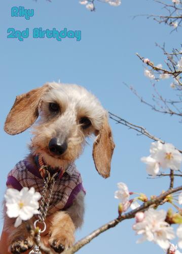 桜とボク♪