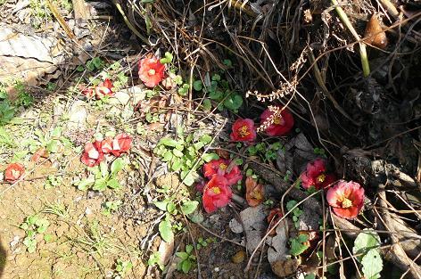 椿の花が落ちている??