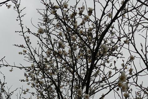 梅がいっぱい咲いてた♪