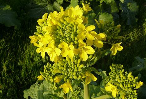何の菜の花?