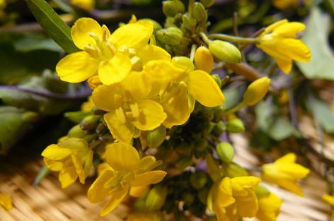 アスパラ菜の花