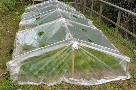 第二弾 ホウレン草 温室