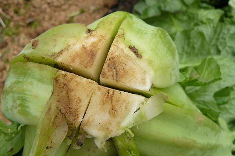 高菜の根元を十字に切って