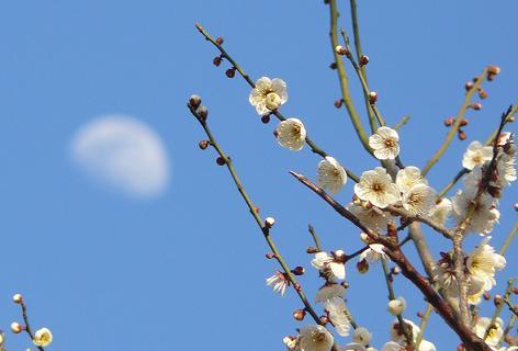 梅の木と月
