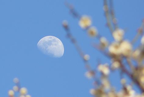 月と梅の木